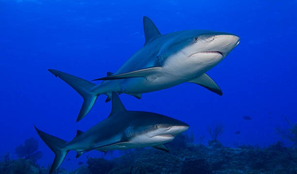 Caribbean Reef Sharks (